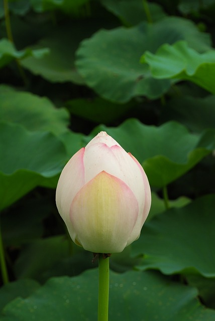 Il Mantra Om lotus