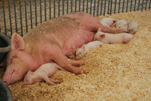 Mangiare carne equivale ad ingerire morte mamma 134
