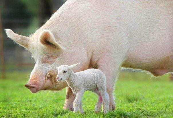 Mangiare carne equivale ad ingerire morte amore