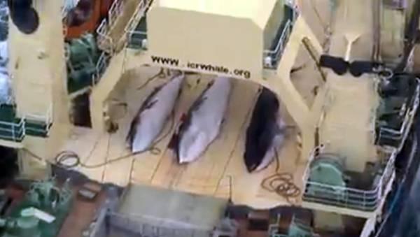 carne di balena