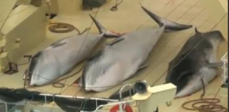carne di balena 55