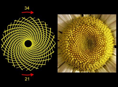 la spirale spirale bernoulli 11