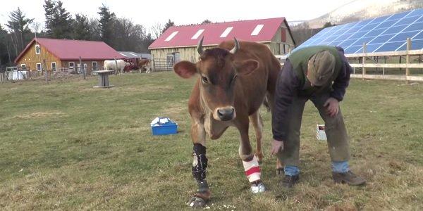 Fawn la mucca salvata dall'allevamento 6
