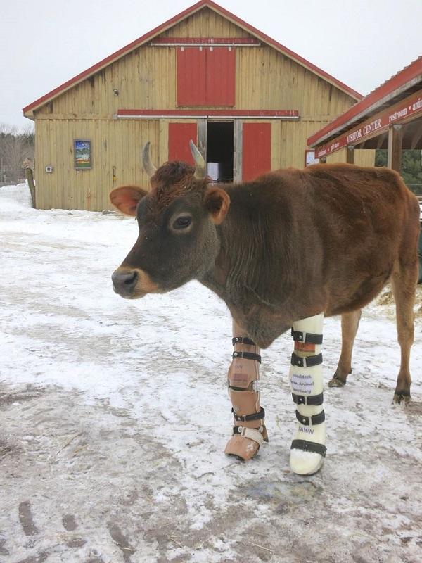 Fawn la mucca salvata dall'allevamento