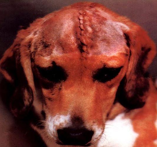 vivisezione-animali-domestici