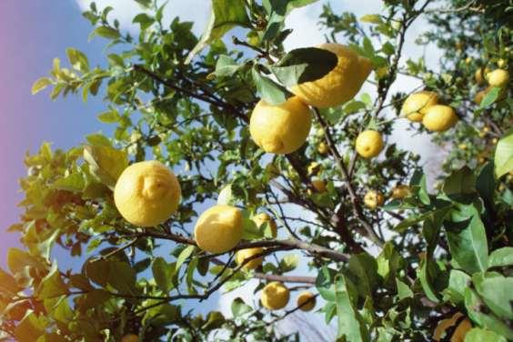 Benefici segreti del Limone 3