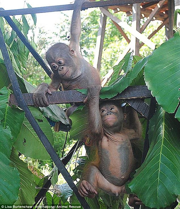 Gli Orfani dell'olio di Palma budi jemmi