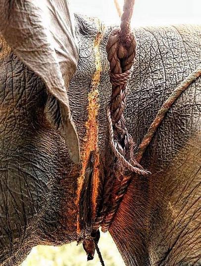Elefanti Torturati 003