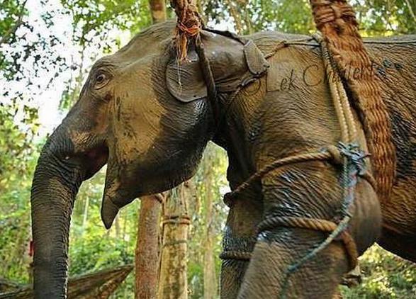 Elefanti Torturati 004