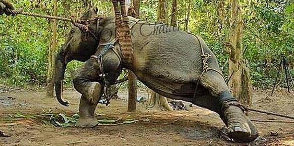 Elefanti Torturati 1