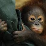 Borneo Orangutan Survival Foundation 002
