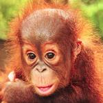 Borneo Orangutan Survival Foundation 003