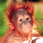 Borneo Orangutan Survival Foundation 004