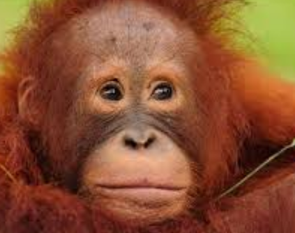 Borneo Orangutan Survival Foundation 005
