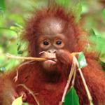 Borneo Orangutan Survival Foundation 006