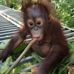 Borneo Orangutan Survival Foundation 008