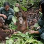 Borneo Orangutan Survival Foundation 010