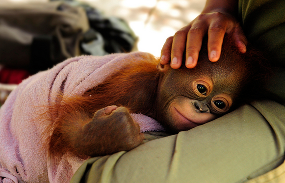 Borneo Orangutan Survival Foundation 011