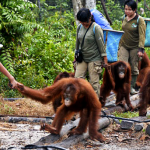Borneo Orangutan Survival Foundation 012