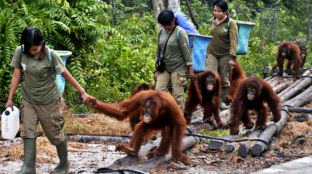 Borneo Orangutan Survival Foundation 012