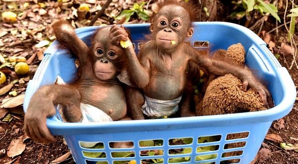 Borneo Orangutan Survival Foundation 045850