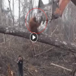 Orango Disperato Lotta Contro La Ruspa Per Salvare Gli Alberi