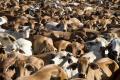 IN EUROPA IL 71% DEI TERRENI AGRICOLI È DESTINATO ALL'ALLEVAMENTO
